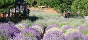 Tuscan Heights Lavender Gardens